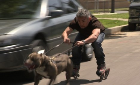 cesar millan pit-bull-pull video